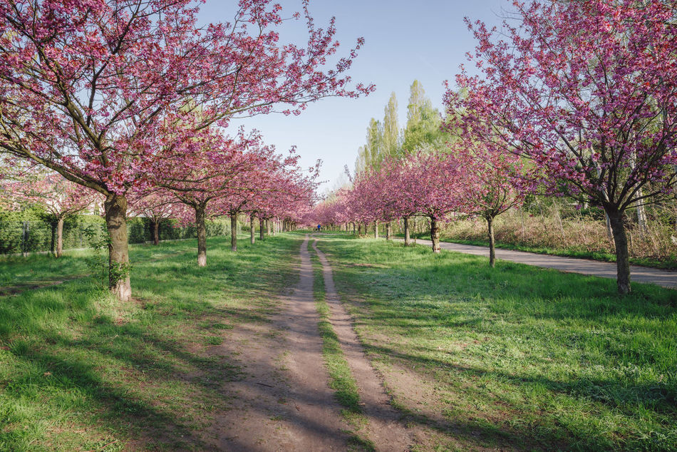 pink japanese cherry tree blossoms against blue sky Beauty In Nature Blossom Blue Sky Branch Copy Space Day Flower Grass Green Grass Growth Japanese Cherry Blossom Tree Japanese Cherry Blossoms Japanese Cherry Tree. Nature No People Outdoors Pink Blossoms Scenics Spring Spring 2017 Spring Flowers Springtime Tranquil Scene Tranquility Tree