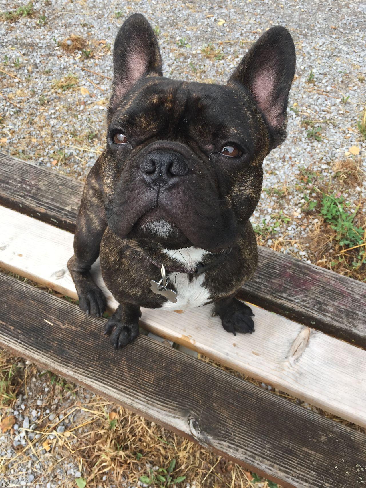 Beautiful stock photos of french bulldog, Animal Themes, Bench, Day, Domestic Animals