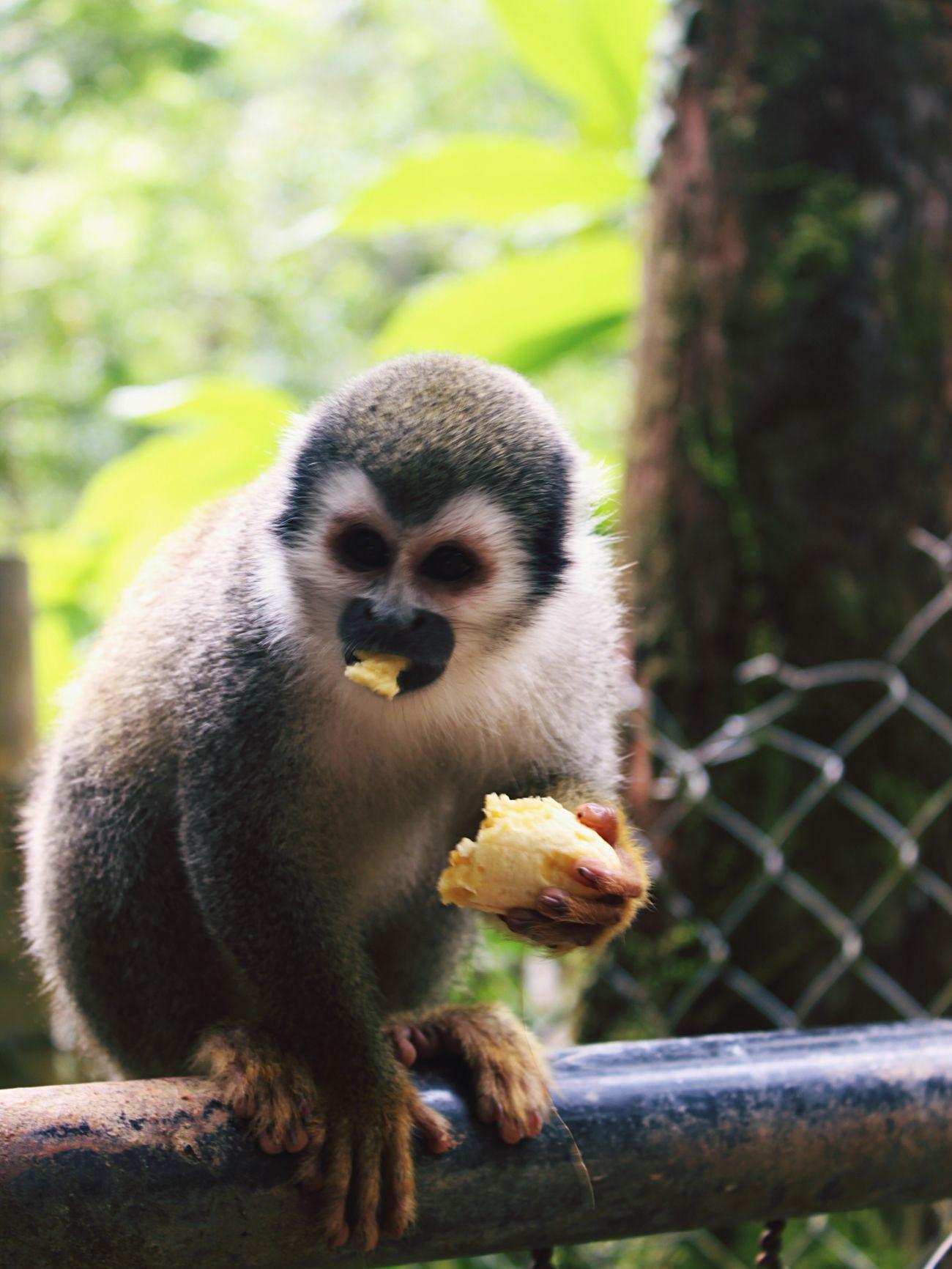 Eating Banana Animals In The Wild One Animal Focus On Foreground Animal Wildlife Monkey Blackeyed Jungle Hungry