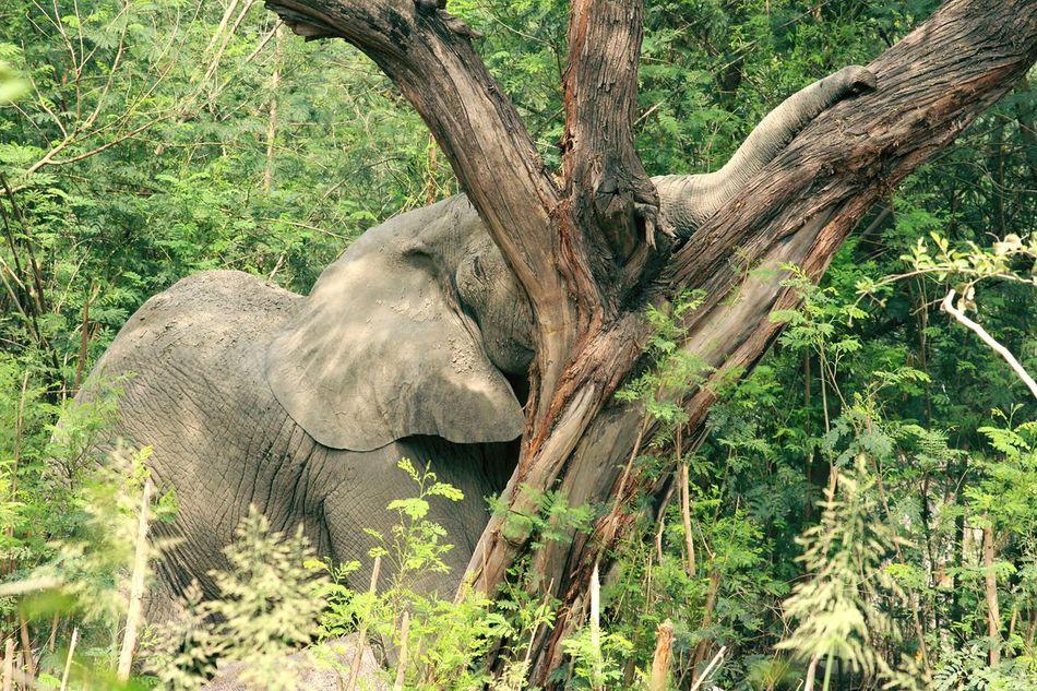 Elephant trunk on tree, hiding face behind tree... Tree Animals In The Wild Elephant Animal Wildlife Tree Trunk Nature Animal Themes No People Day Outdoors Safari Animals Animal Trunk Branch Tusk