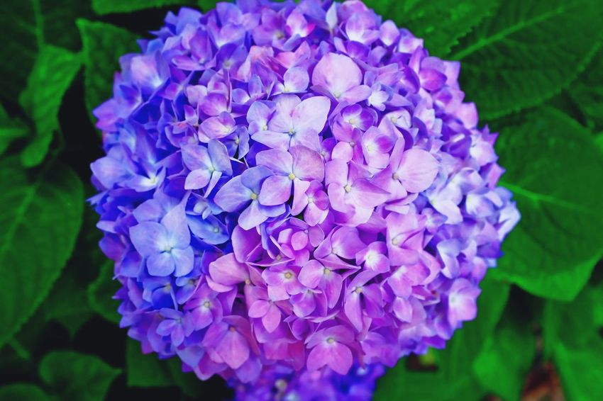 Bloom Flower Beauty In Nature Petal Nature Growth Fragility Purple Freshness Flower Head Plant Blooming Hydrangea Day Outdoors Close-up Blue No People