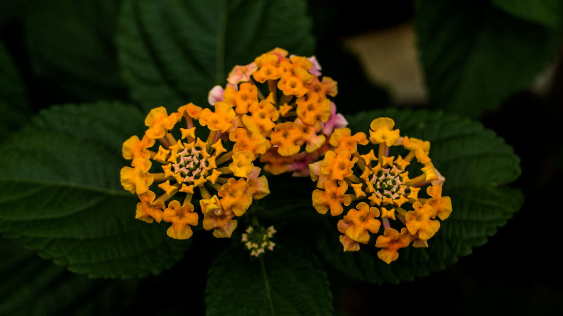 Bunch of yellow beautiful little flowers in the garden Nature Nature Photography Beauty In Nature Blooming Close-up Flower Flower Head Fragility Freshness Green Color Growth Lantana Camara Leaf Little Flowers Nature No People Outdoors Petal Plant Tiny Flowers Yellow