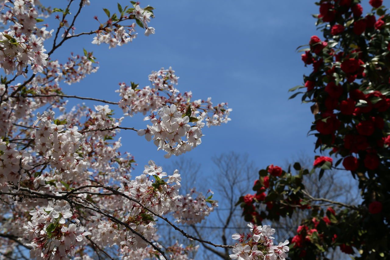 Blossom Branch Camellia Cherry Blossom Cherry Tree Clear Sky Flower Fragility Freshness Growth Hirosaki In Bloom Japan Park Pink Color Spring Spring Flowers Springtime