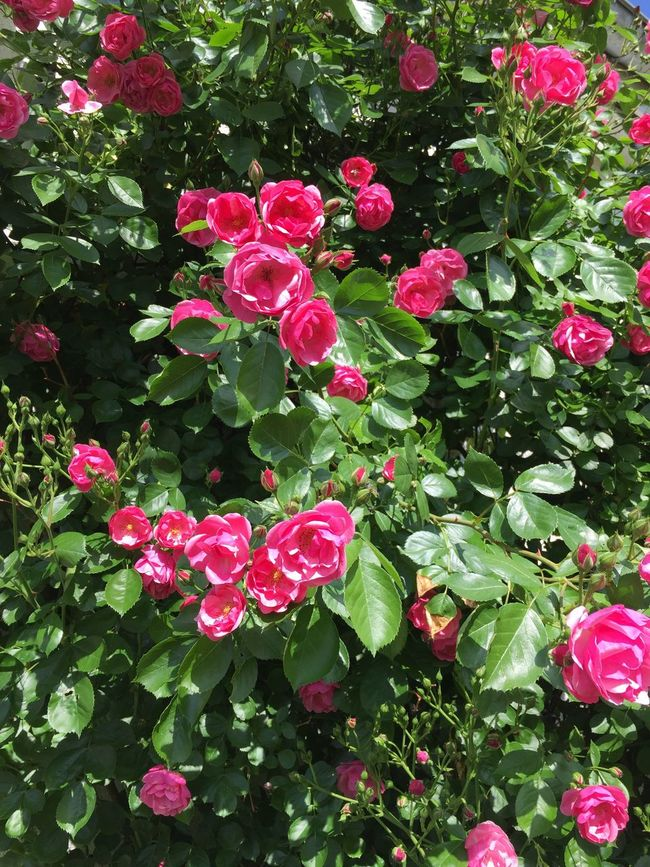 The Essence Of Summer Growing Blossom My Garden Flower Roses Garden Flowers Love It Beautiful Day Rosy View Lovely View Proud