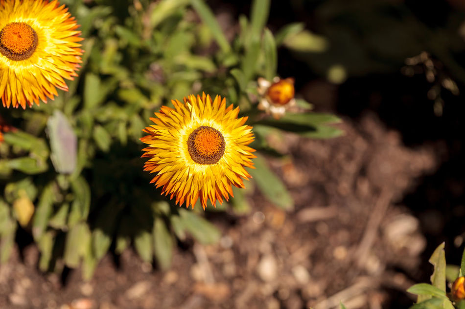 Jumbo yellow strawflower called Bracteantha blooms in a botanical garden in spring Beauty In Nature Bracteantha Close-up Day Flower Flower Head Fragility Freshness Garden Growth Nature No People Outdoors Passion Flower Petal Plant Strawflower Yellow Yellow Flower