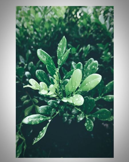 Growth Plant Leaf Nature Green Color Close-up Herb Freshness No People Day Outdoors Beauty In Nature Herbal Medicine Flower green