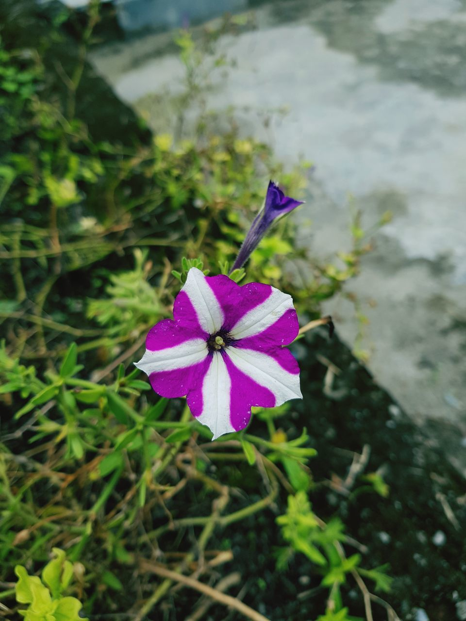 flower, petal, purple, growth, fragility, nature, beauty in nature, flower head, freshness, plant, day, blooming, pink color, green color, high angle view, no people, outdoors, focus on foreground, close-up, periwinkle, petunia