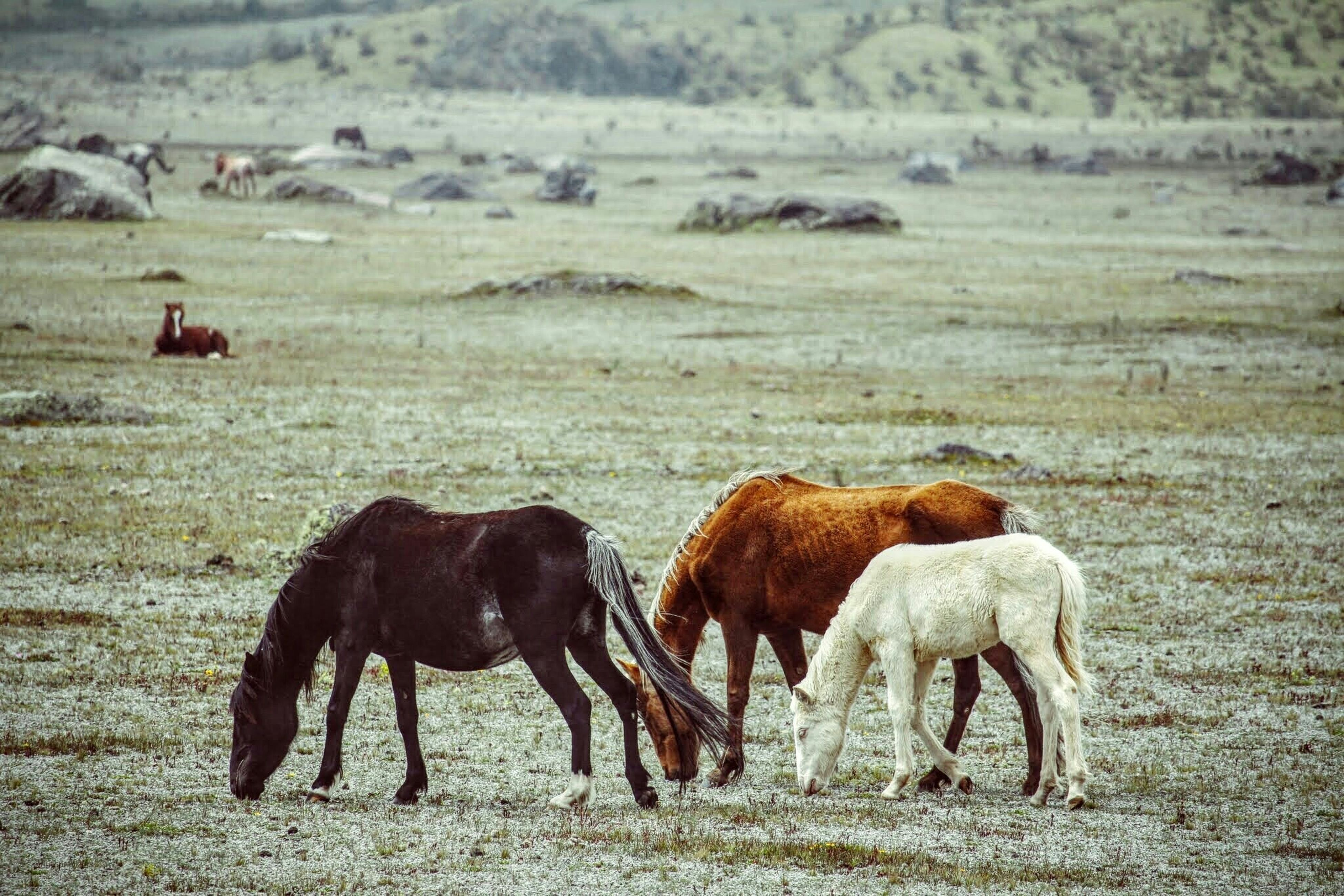 animal themes, mammal, domestic animals, livestock, field, standing, herbivorous, two animals, grazing, togetherness, animal family, medium group of animals, nature, full length, three animals, landscape, grass, cow, young animal, zoology