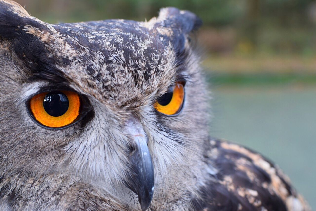 One Animal Bird Owl Animal Themes Close-up Outdoors Beak Bird Of Prey Animal Wildlife Feathers Eyes Orange Nature Exploring Taking Photos Eye4photography  EyeEm Gallery Nature_collection Taking Pictures No Edit/no Filter