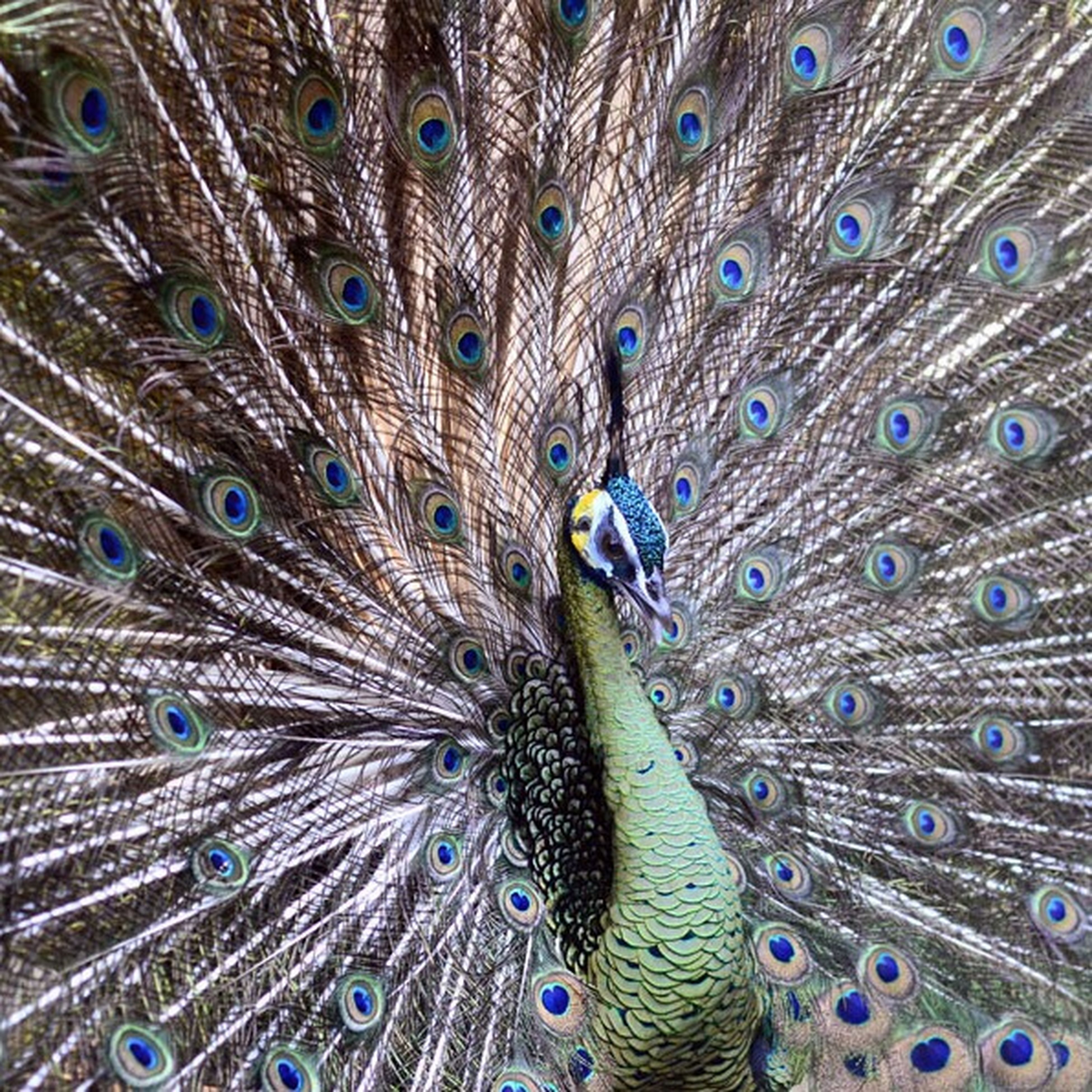 peacock, animal themes, feather, peacock feather, fanned out, one animal, wildlife, full frame, backgrounds, natural pattern, animals in the wild, bird, close-up, blue, male animal, multi colored, animal head, pattern, beauty in nature, purple