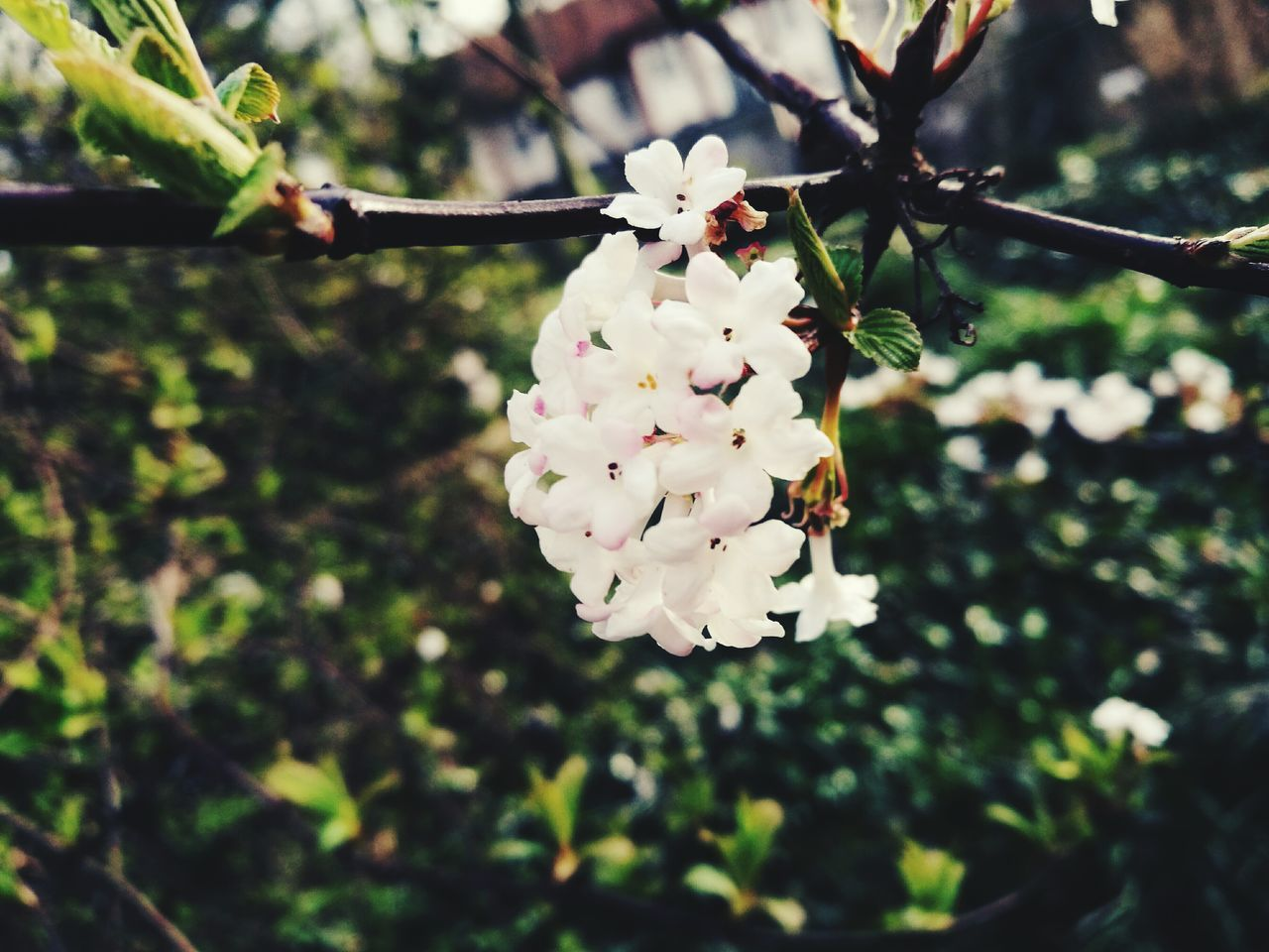 Hannover, Germany Nature Plant Close-up Growth Branch No People Flower Fragility Beauty In Nature Outdoors Tree Blossom Freshness Day Flower Head EyeEmNewHere