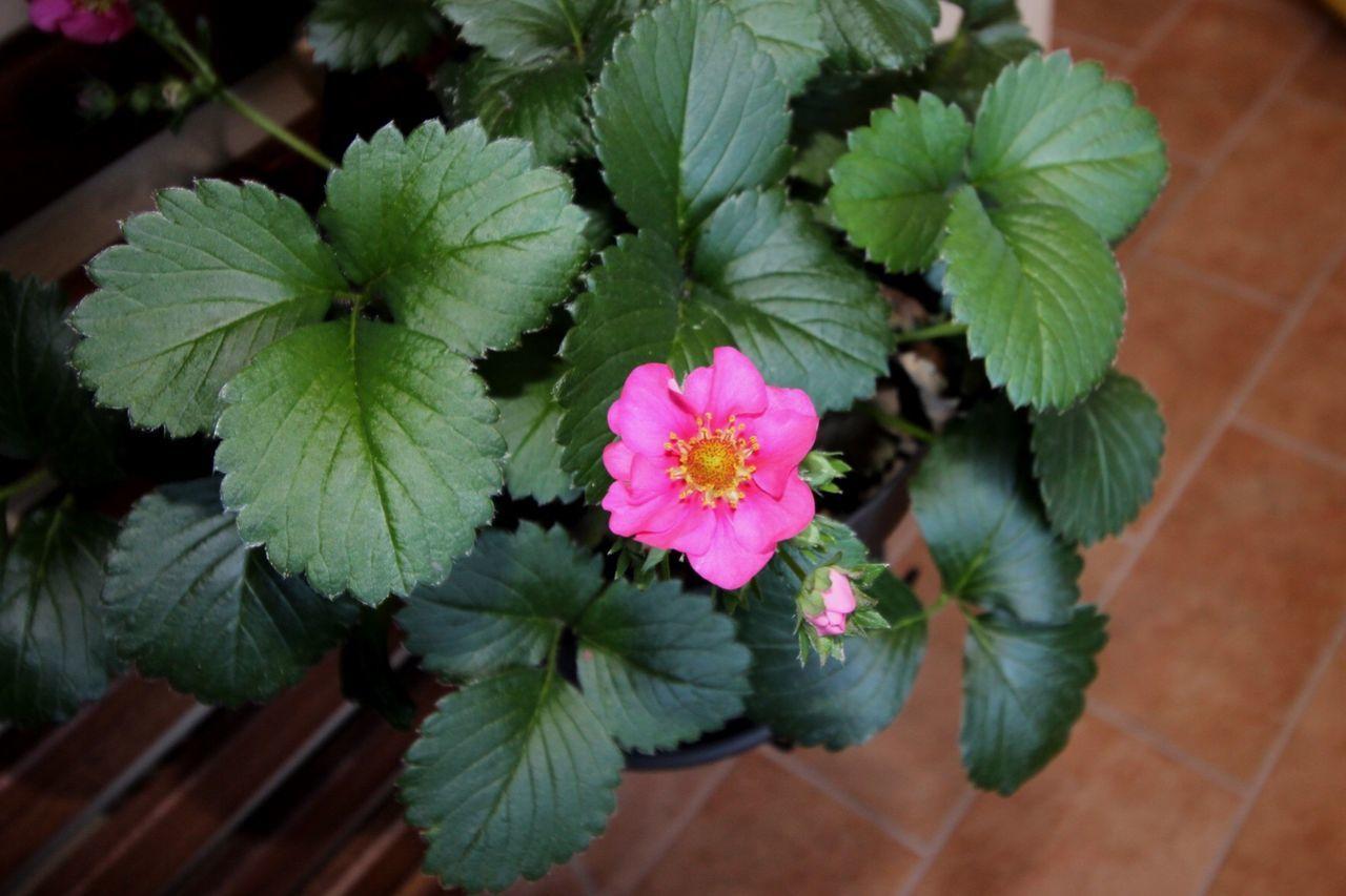 Fragole Strawberry Flower Pink