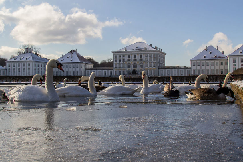 Bird Duck Ice Large Group Of Animals Nymphenburg Nymphenburg Palace Nymphenburger Kanal Snow Snow ❄ Swan Swan Lake Swans Water Winter Adapted To The City Shades Of Winter