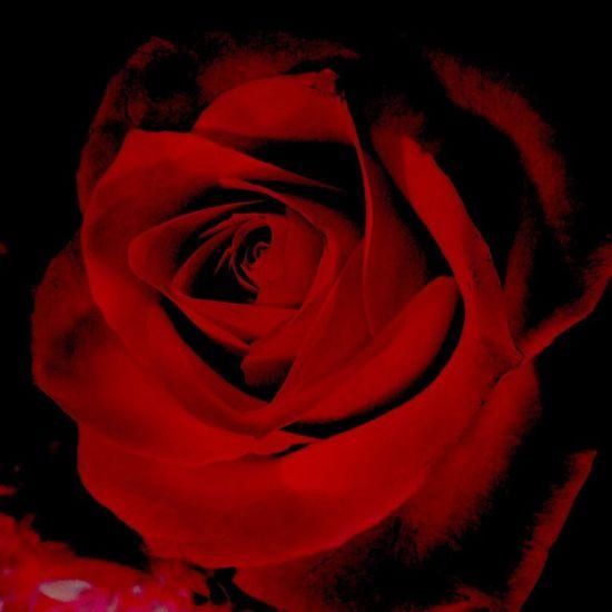 Mystic Rose Flower_Collection EyeEm Flower Flowers Everywhere Loving Flowers have a great weekend my friends💞💫