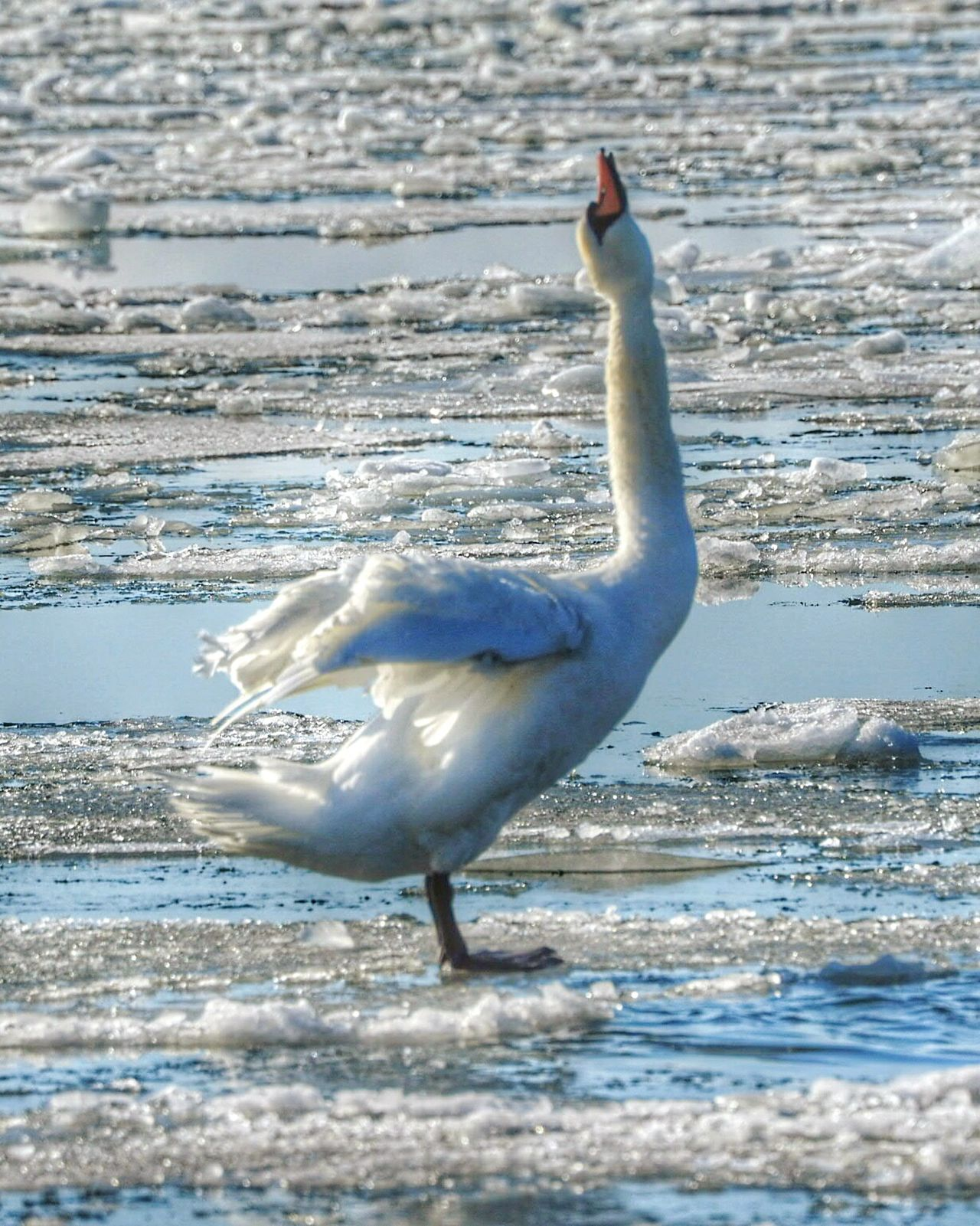 Bird Animals In The Wild Animal Themes One Animal Animal Wildlife Nature Full Length Beauty In Nature Winter Nature Outside Frozen Sea Cold Temperature Bathing Swan Animal Nature Ice Sea Bird Swan Sunny Winter Day