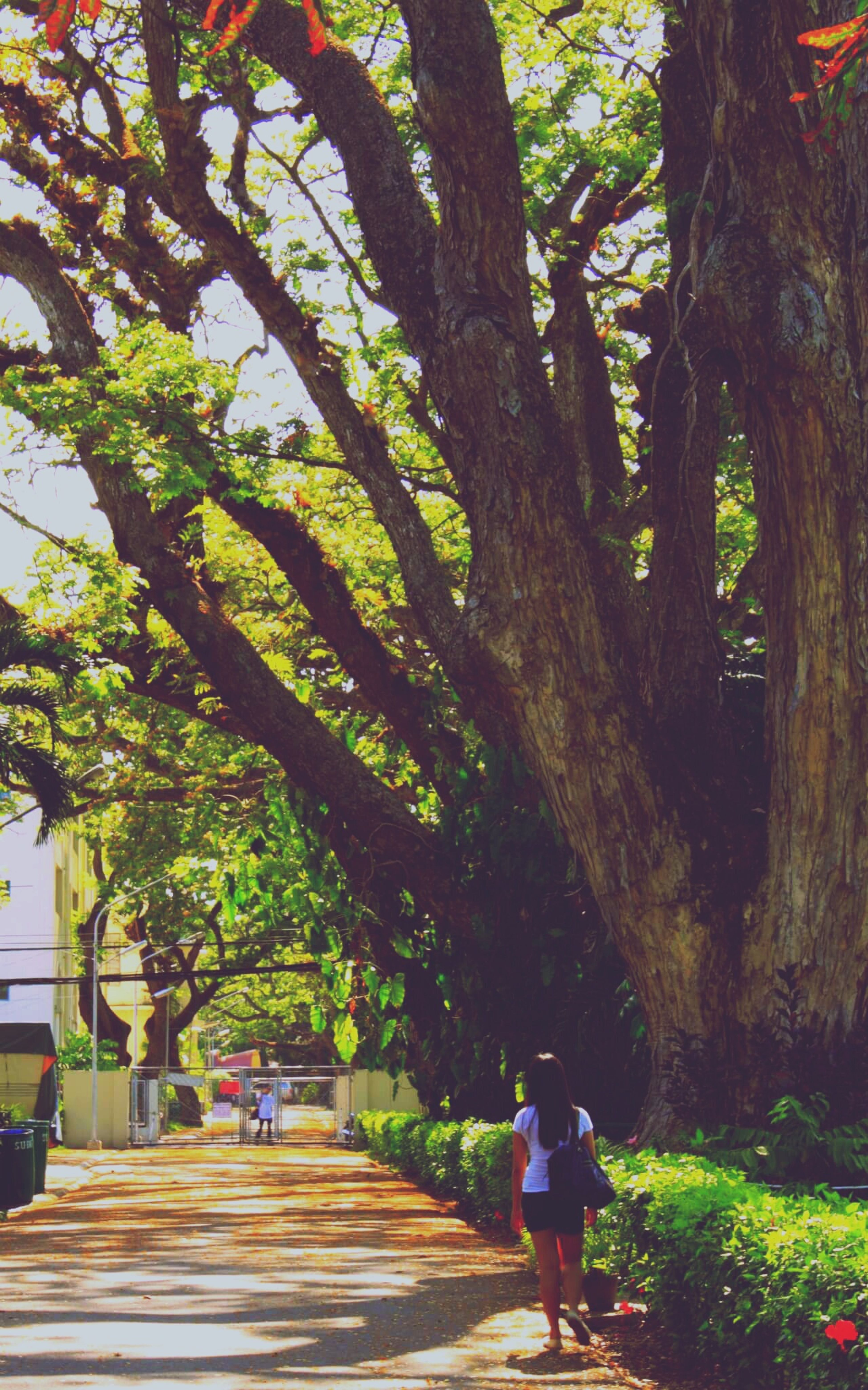 Onehundred 100 Acacia Trees Giants SillimanUniversity Silent Giants Time Capsule Living History Branches Dumaguete Open Edit