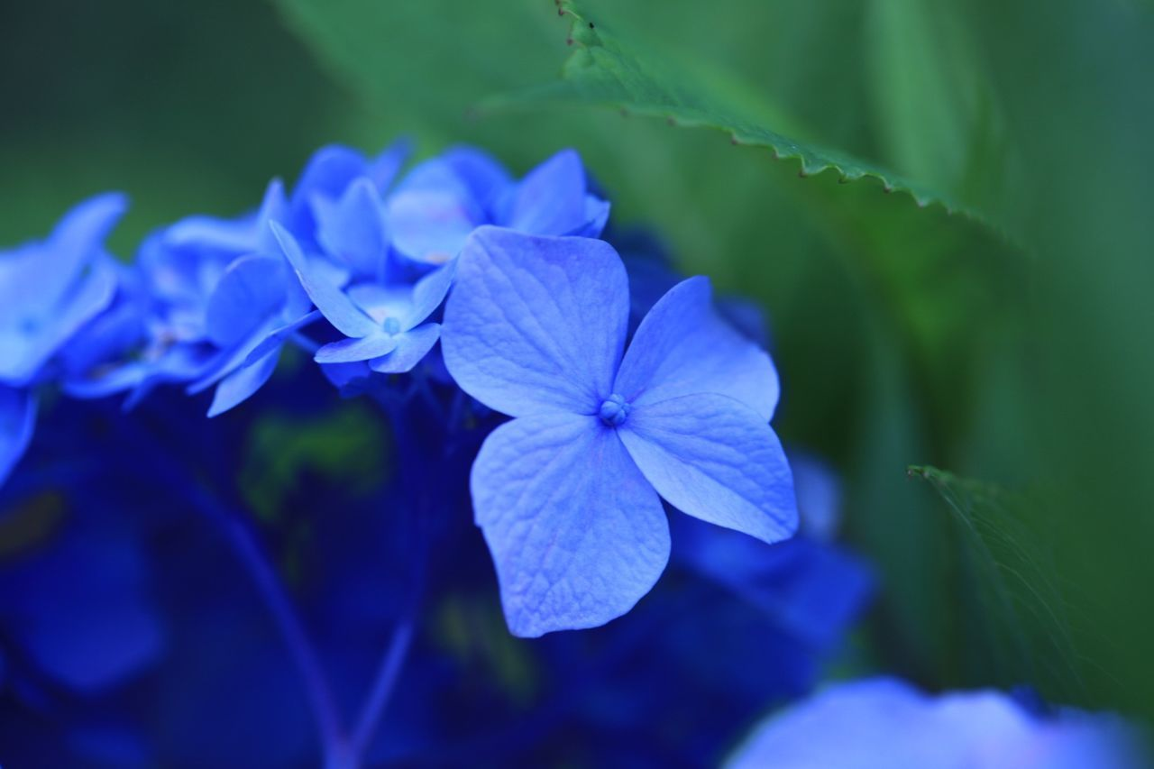 flower, beauty in nature, growth, petal, fragility, nature, focus on foreground, plant, freshness, blooming, day, no people, flower head, blue, outdoors, close-up, periwinkle