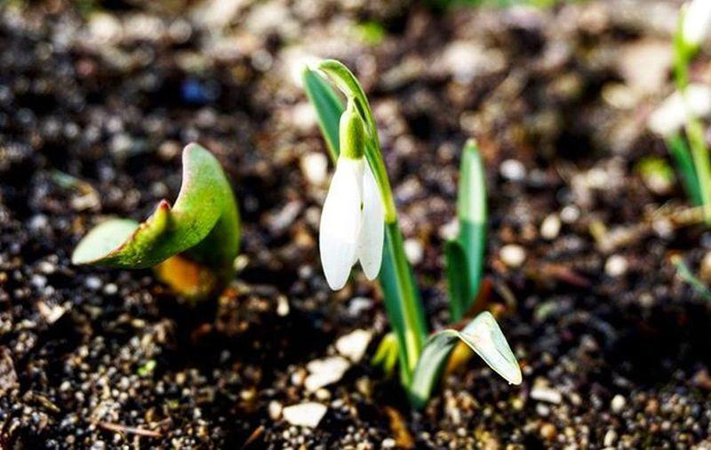 Przebiśniegi Galantus Nivalis Sniezyczka Geofit Bylina Green White Tobloom Bloom Spring Come Flowers Flower Makrophotography Makro LovelyPhoto Sonyalphaa6000 Sony Poland Gubin