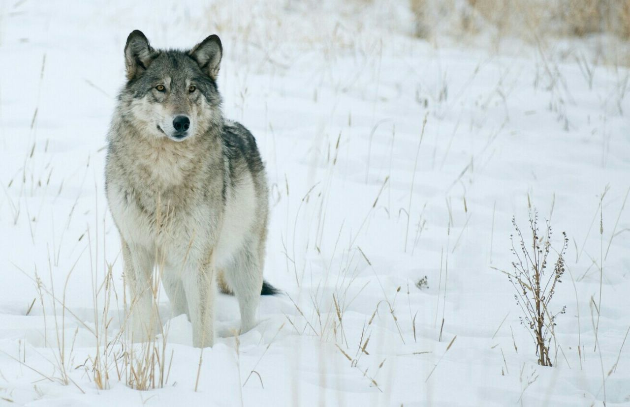 Beautiful stock photos of wolf, Animal Themes, Beauty In Nature, Covered, Covering