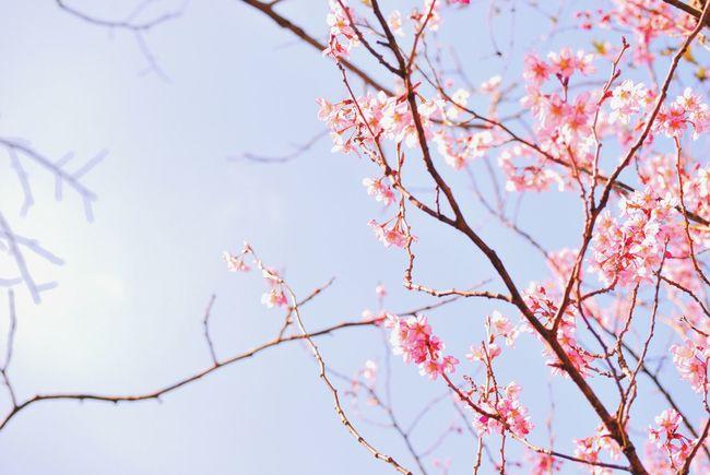 日本の桜、 Japan 日本 桜 Cherry Blossom 空 Sky Sunshine 風景 Landscape