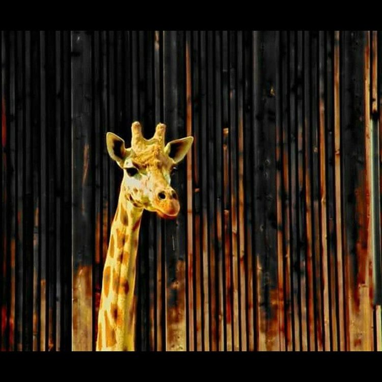 Girafe Giraffe Long Neck Cou Beauté Beauty Zoo Lyon France Têtedor Parc Goldenhead Animal Saturation