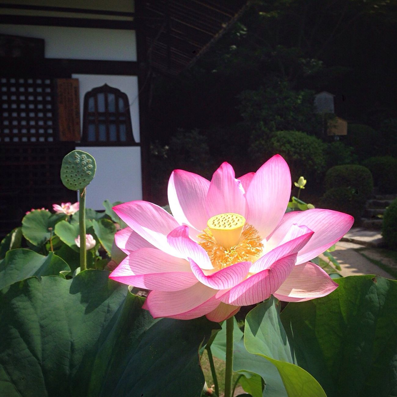 Kyoto Japan Uji Mimurotoji Lotus Flower Flower Temple Summer 京都 日本 宇治 三室戸寺 蓮 花 夏 寺