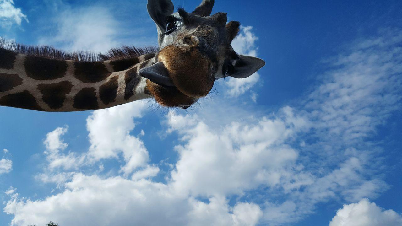 Beautiful stock photos of lustige giraffe, Animal Head, Animal Themes, Animal Wildlife, Animals In The Wild