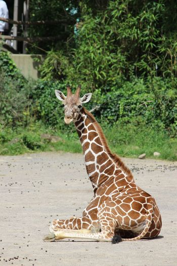 Duisburg Animal Wildlife One Animal Giraffe Animal Themes Nature Outdoors No People Safari Animals Close-up Duisburg Zoo He's Looking Atme Babygiraffe