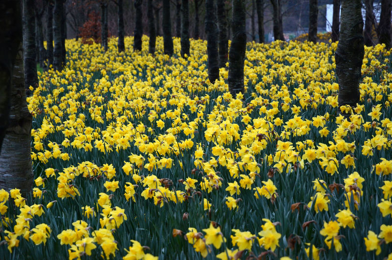 Daffodils Among The Trees in Daffodil Season Yellow Carpet Spring Flowers