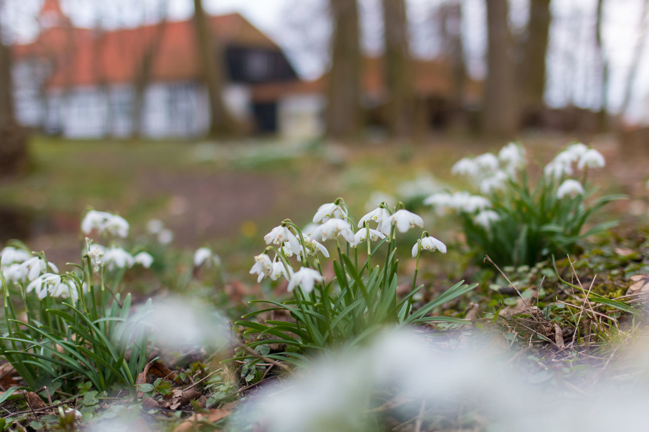Fresh snowdrop flowers in garden with house out of focus in the background Blooming Close-up Day Flower Flower Head Flowers Flowers In Garden Focus On Foreground Garden Grass Green Plants Selective Focus Snowdrops Spring Springtime