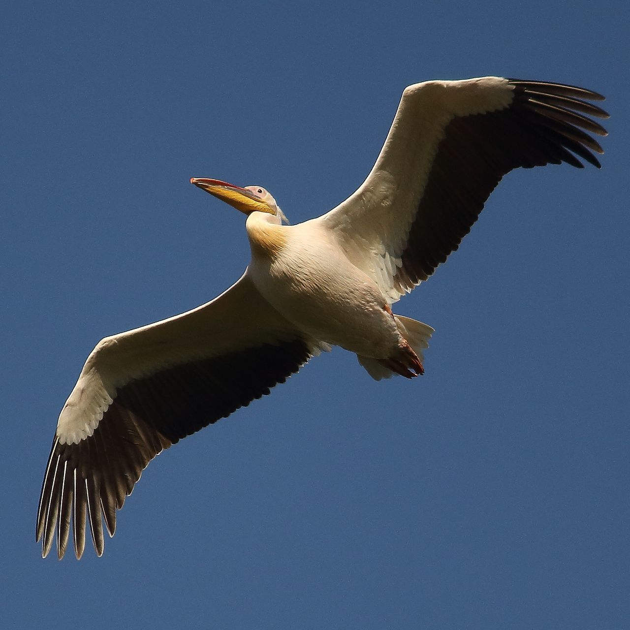 spread wings, flying, bird, one animal, animals in the wild, animal themes, mid-air, clear sky, low angle view, animal wildlife, day, no people, nature, outdoors, sky, close-up