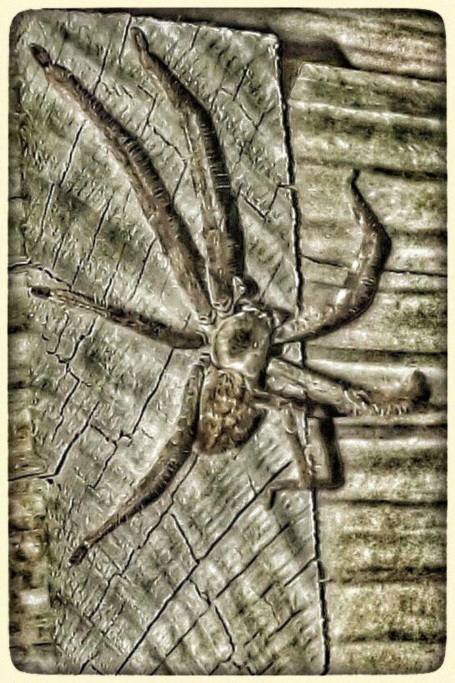 Spider HuntsmanSpider