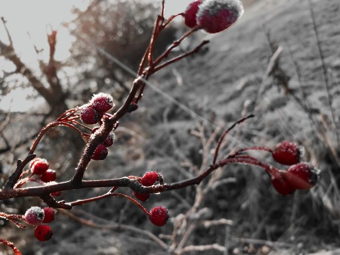 Nature Cold Temperature Close-up Twig Berry Fruit Frozen Beauty In Nature Focus On Foreground Nature On Your Doorstep See The World Through My Eyes Countryside Beauty In Nature Nature_collection EyeEm Best Shots - Nature Sun EyeEm Gallery