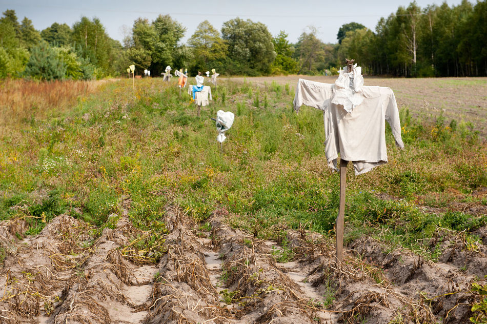 Many scarecrows in ground on field in Poland, row of human-shaped scarecrows in clothes stick in field with dried plants. Polish strach na wróble. Horizontal orientation, nobody. Cloth Clothes Day Dressed Field Fieldscape Ground Nature Outdoors Poland Rag Row Rural Rural Scene Scare Scare Crows Scarecrow Scarecrows Shirt Soil T-shirt Tshirt Weathered
