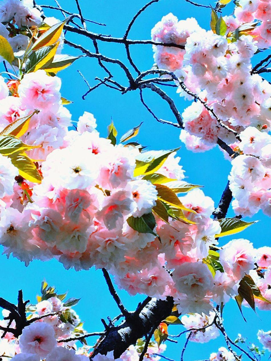 Yaezakura Sakura Flower Fragility Blossom Beauty In Nature Cherry Blossom Growth Springtime Branch Freshness Tree Nature Cherry Tree Orchard Apple Blossom White Color No People Botany Almond Tree Petal Pink Color EyeEmNewHere