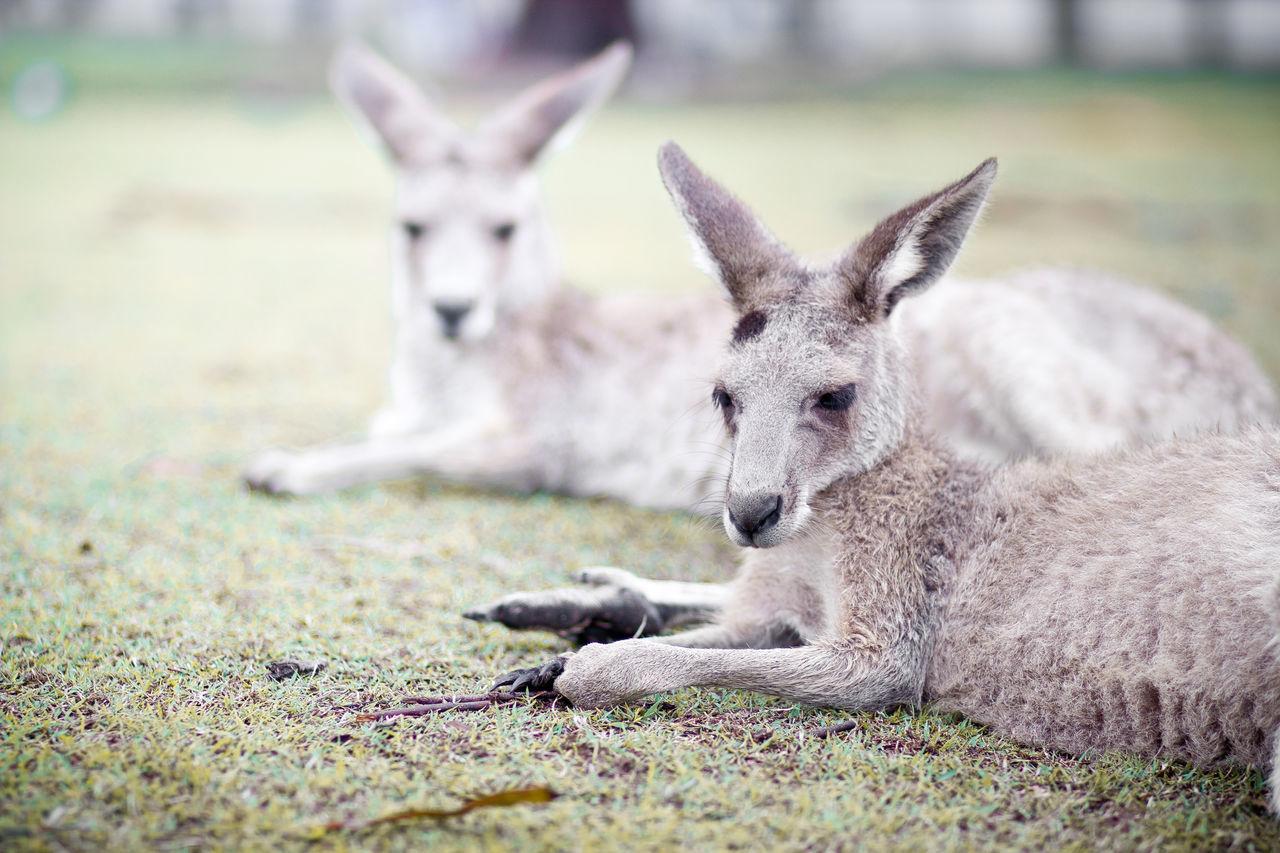 Beautiful stock photos of kangaroo, Animal Body Part, Animal Eye, Animal Head, Animal Mouth