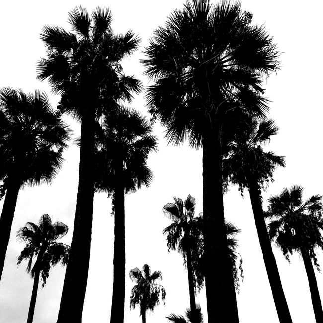 Napoli ❤ Palm Tree Tree Low Angle View Outdoors Tall - High Silhouette Nature Palm Palm Leaf Summertime Relaxing Amalfi Coast Boulevard Italy❤️ Black & White