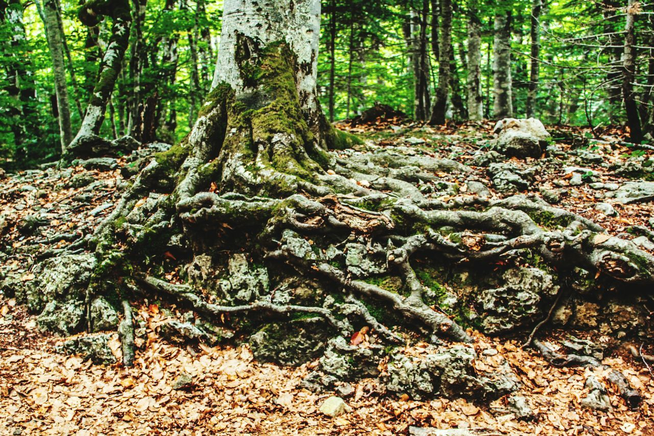 Tree WoodLand Tree Trunk Root Forest Nature Tranquility Growth Spreading Environment Moss Green Color Overgrown Branch Raíces Raices De Arbol Nature Landscapes Forestwalk Ordesa Ordesa National Park EyeEm Gallery Check This Out Tranquil