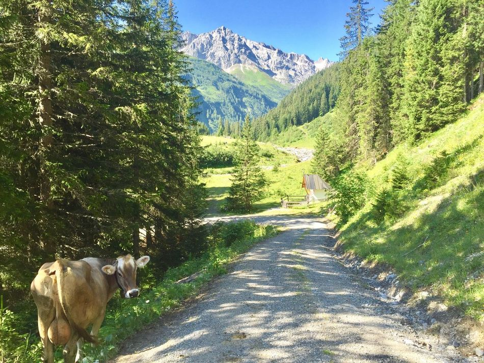 Cow On The Road - Alps Mountain Mountain View Alpen Austria Austrian Mountains