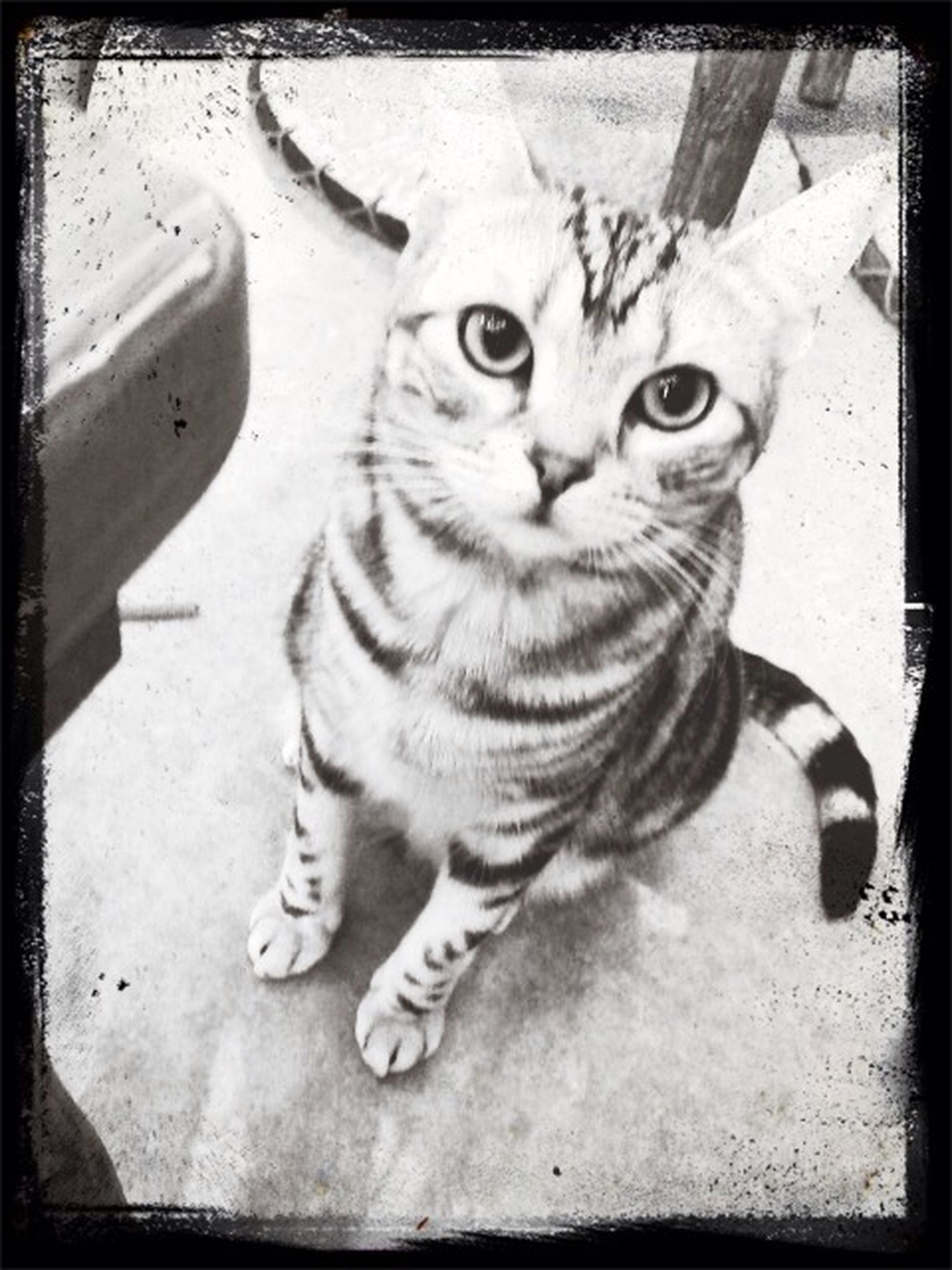 transfer print, domestic cat, pets, animal themes, one animal, cat, domestic animals, feline, mammal, auto post production filter, portrait, looking at camera, whisker, high angle view, sitting, full length, indoors, relaxation, staring, close-up