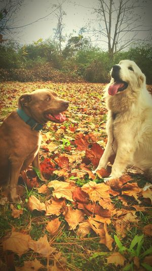 Pitbull Love Great Pyrenees Love Wintertime In The South