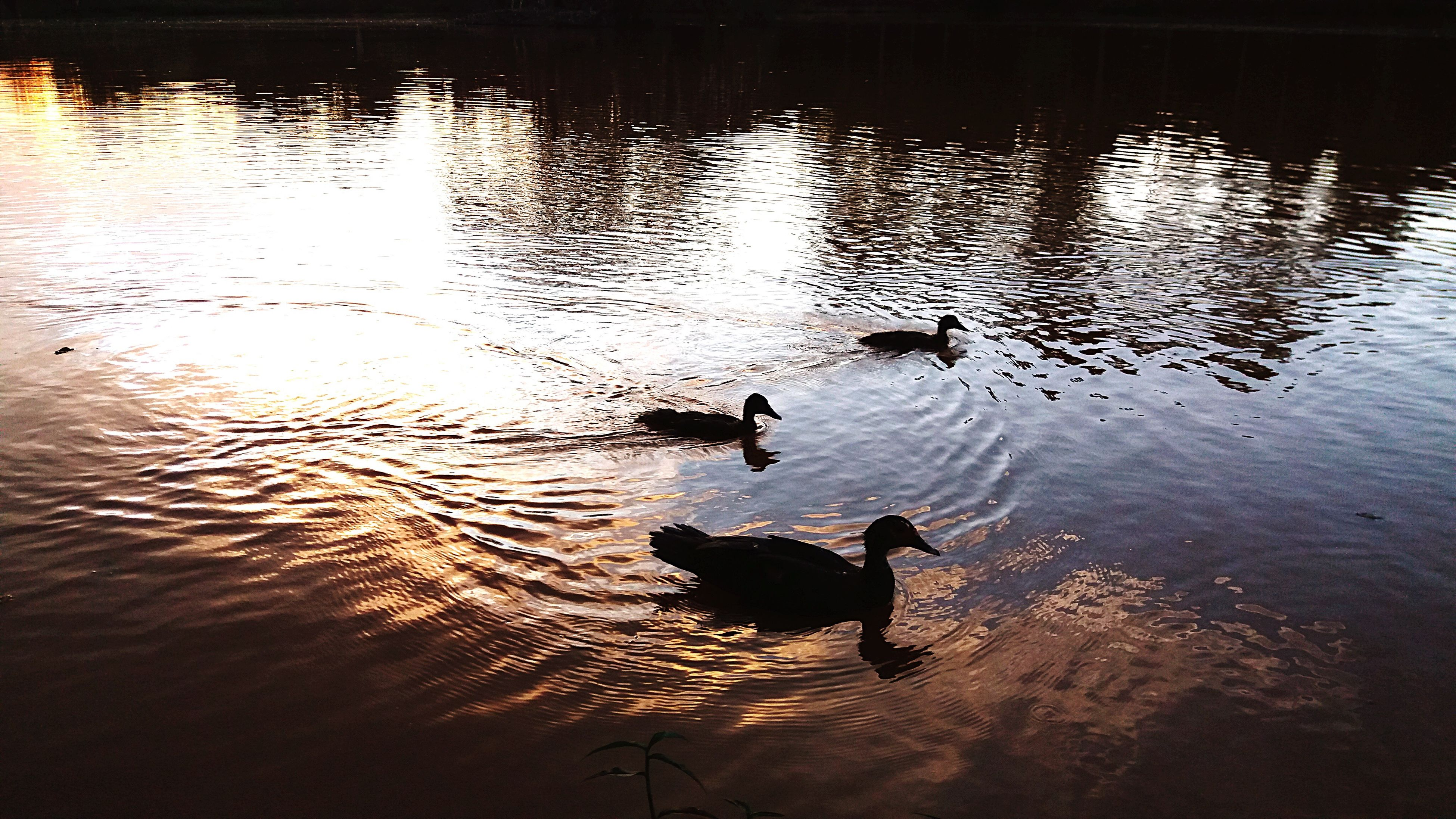 water, animal themes, reflection, nature, no people, sunset, lake, outdoors, mammal, day
