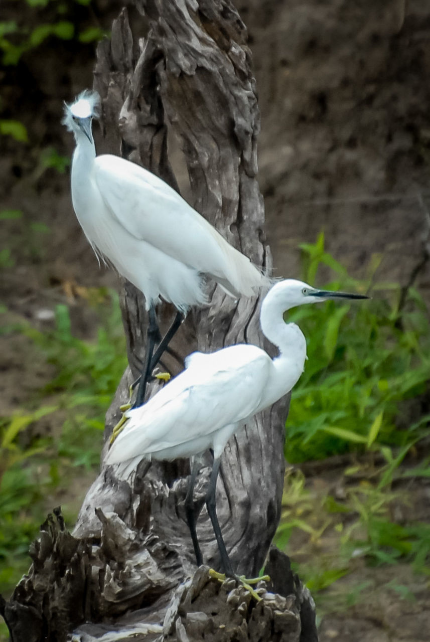 bird, focus on foreground, day, white color, animal themes, outdoors, animals in the wild, nature, one animal, animal wildlife, beauty in nature, perching, great egret, no people, close-up, crane - bird