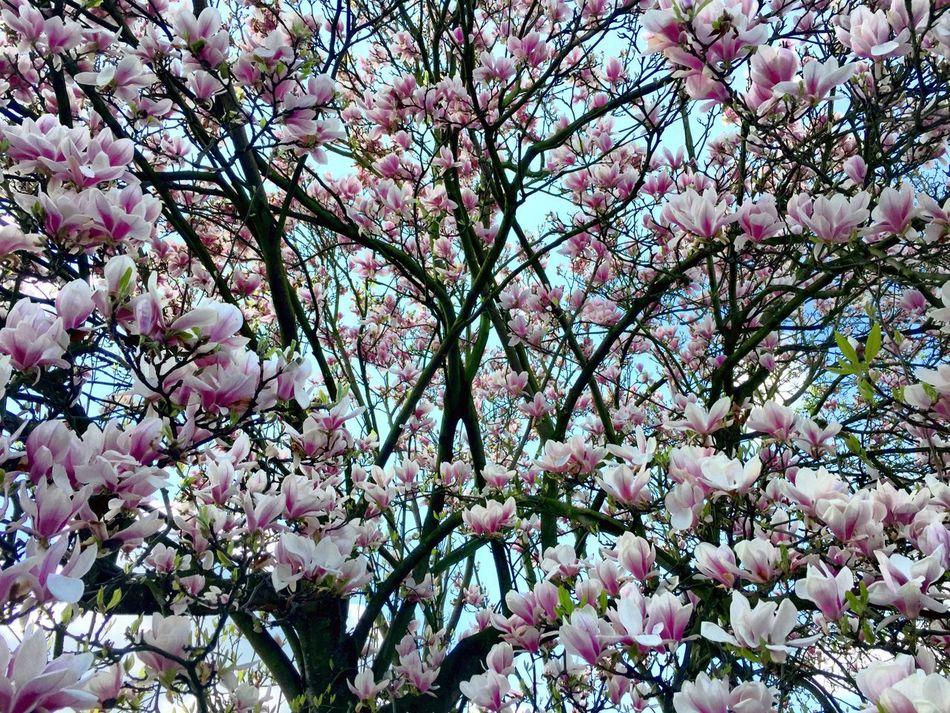 Beautiful stock photos of magnolia, , Abundance, Beauty In Nature, Bergkamen