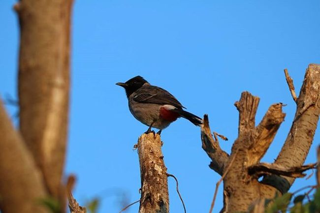Awesome pycnonotidae shoot on my Rajasthan tour... its shot i never miss. . Rajasthan_diaries Birds Pycnonotidae Bulbul Evening_snaps Canonphotography 760D Canonclubindia Wildlifephotography Mountabu Canon_photos