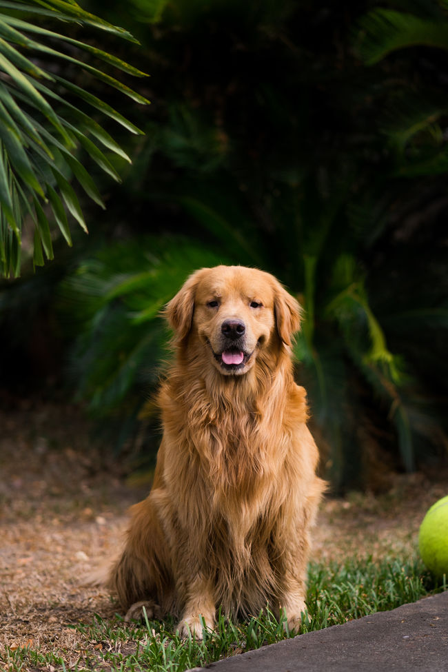 Som O - Golden Retriever Animal Animal Themes Day Dog Domestic Animals Field Focus On Foreground Front View Golden Retriever Goldenretriever Loyalty Mammal One Animal Outdoors Pampered Pets Pets Selective Focus Sitting Snout Tounge Out  Vertebrate Zoology