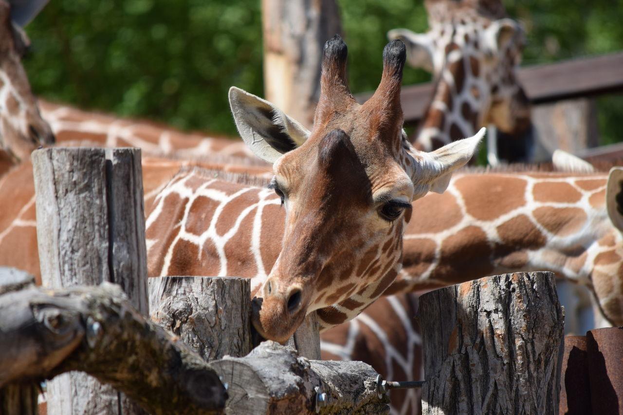 giraffe Animal Themes Animal Wildlife Animals In The Wild Close-up Day Focus On Foreground Giraffe Mammal Nature No People One Animal Outdoors Standing Tree