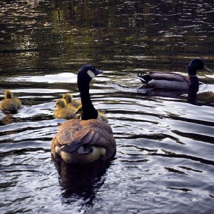 Fellsreservation Fells Medford Má ducks goose