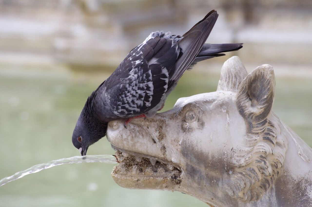Bird Animals In The Wild Animal Themes Focus On Foreground Animal Wildlife One Animal Perching Black Color Day No People Fountain Dove drinking Water Nature Close-up Dove Drinking fountain : Outdoors A dove dinking warter of a sparkeing fountain wolve. Wolve Art Of Drinking