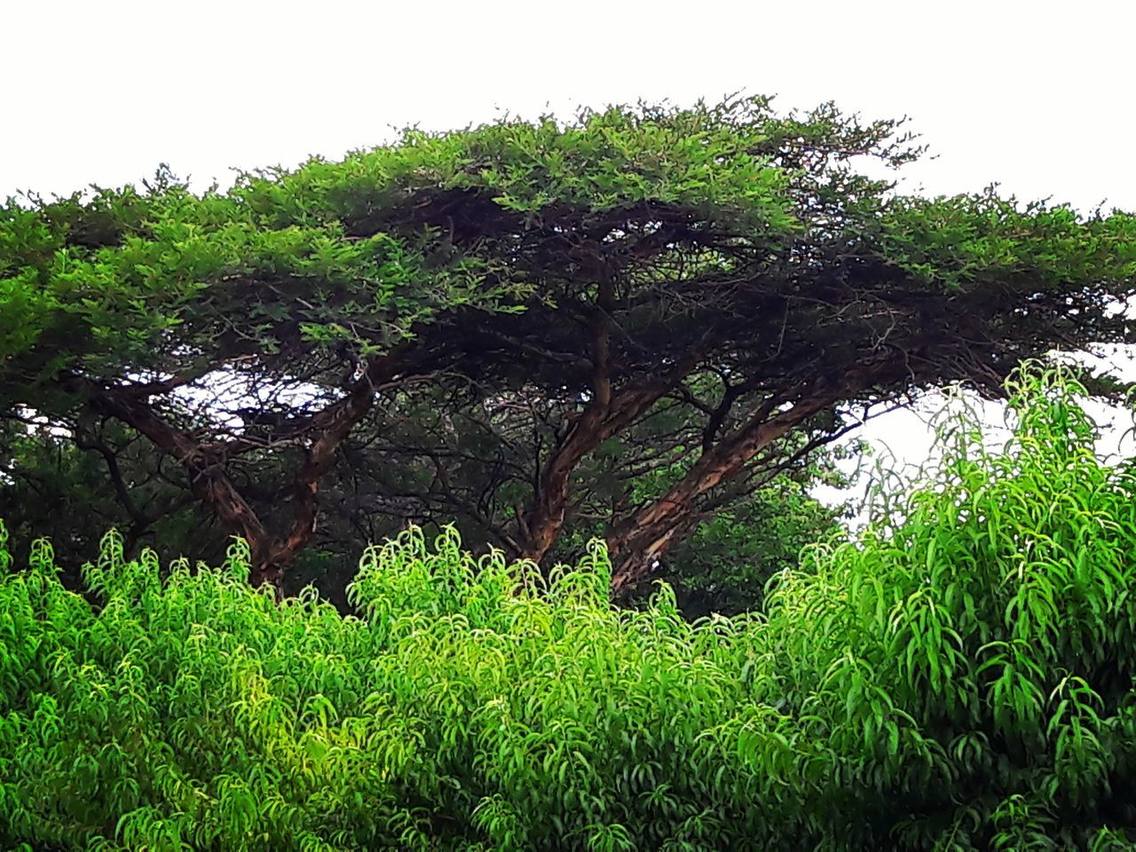 Growth Tree Nature Green Color Plant Day Tranquility Acacia Tree